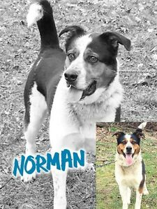 Norman is a 2 year old, male, heeler mix. niagaradogrescue.org