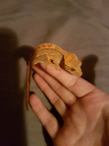 Crested gecko  male and female