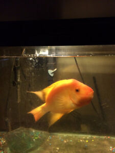 Male Red Devil For Sale or Trade