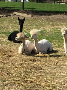 ALPACA'S for sale