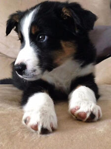 Border Collie needs New Home (WORKING HOME OR ACREAGE ONLY!!!)
