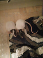 Beautiful Baby Rats needing a new home