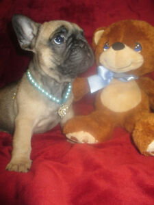 French Bulldog Healthiest puppies!