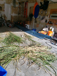 Free bamboo like elephant grass cuttings