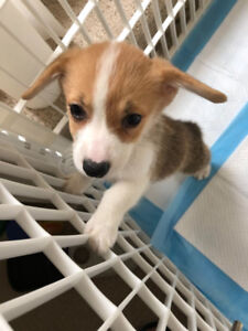 Cute Welsh Corgi looking for New Home