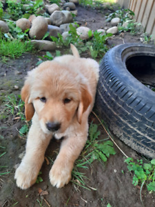 Adopt Dogs & Puppies Locally in Barrie | Pets | Kijiji