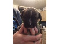 Staffie / American bulldog puppies for sale