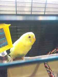 Baby budgie, cage, food and all accessories