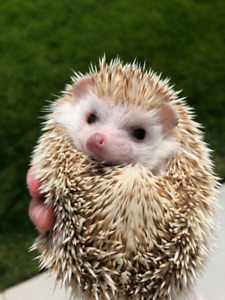 Friendly female hedgehog needing new home.COMES WITH EVERYTHING!