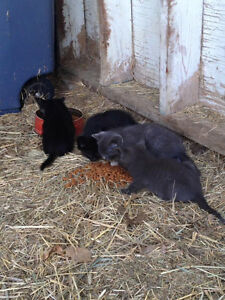 Free Farm Kittens Available for Rehoming