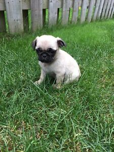 Pug Puppies 1 Female available
