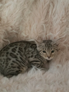 2 stunning SILVER tica registered bengals