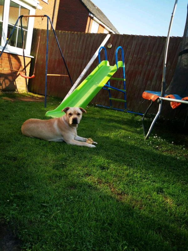 Female, Labrador Retriever X French Bulldog Cross
