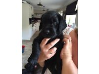 Beautiful f1 Labradoodle puppies