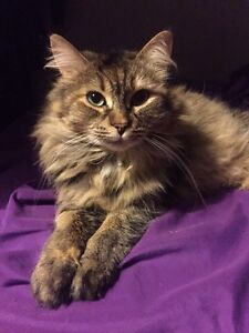Looking for Foster Home for Medium-Haired Tabby Cat