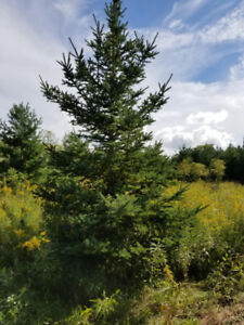 Med-Large Pine and Spruce Trees for Sale