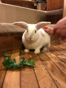 1 year old white male neutered bunny