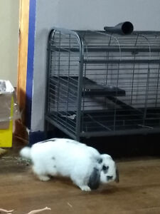 2 year old Male rabbit needing a new home