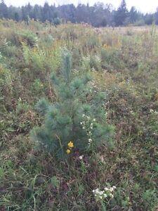 Pine, Spruce cedar and Tamarac trees for sale Kawartha Lakes Peterborough Area image 6