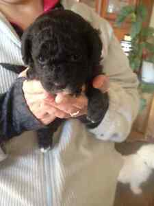 maltese-poodle mix puppies