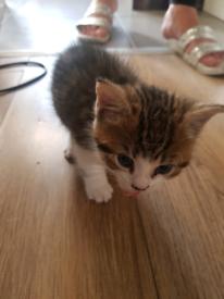 1male kitten for sale