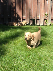 Labradoodle puppies Selling fast! Now accepting deposits