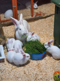 Pure breed Continental Giant rabbit babies