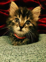 Adorable Fluffy Maine Coon Kitten