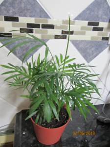 Chinese Parlor Fan Palm Tree - Air Purifying