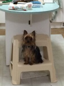 Looking to trade a 16 month old Yorkie female Strathcona County Edmonton Area image 2