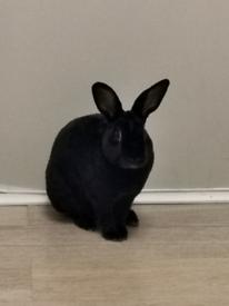 Indoor male Jet black rex rabbit