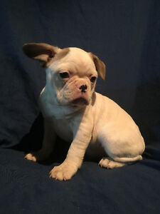 French Bulldog cross Boston Terrier puppies