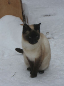SOLD - Seal Point Male Siamese