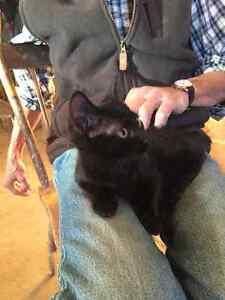 Manx Female Kittens