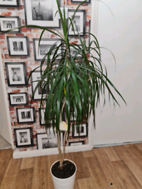 dragon Tree plant with pot for free