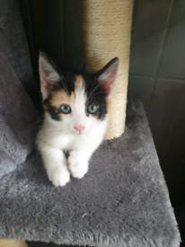1 calico female kitten