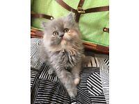 Gorgeous pure Persian female kitten