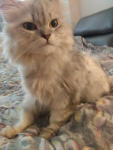 Female Siberian Silver and White for Adoption
