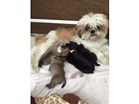 Shih Tzu x Pug Puppies