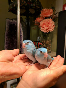 Baby Blue Parrotlets