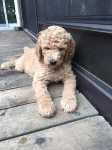 Standard Poodle   Kijiji in Ontario  - Buy, Sell & Save with