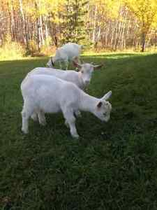 Saanen billy goats - 2.5 month old. Two very friendly goats!