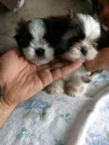 Shih-tzu Puppies Pure, 2 Males, Ready to Go