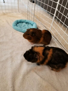 2 Female Guinea pigs with cage/accesories