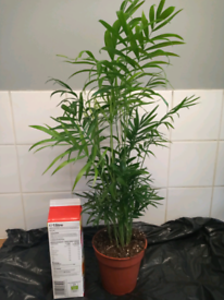 Stunning live Chamidorea palm plant, COLLECTION FROM LONDON SE16