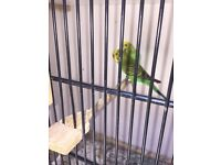 Lots of breeding cages and 9 budgies