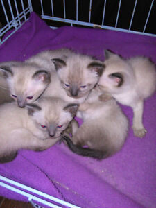 Purebred SIAMESE Kittens - 2 males and 1 female left !!!