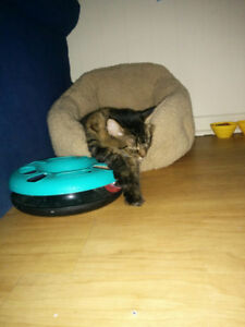 Looking for a kitten Free