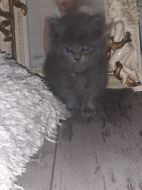Beautiful bsh cross kitten