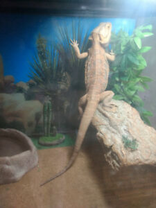 Bearded Dragon 2.5 yrs old Male